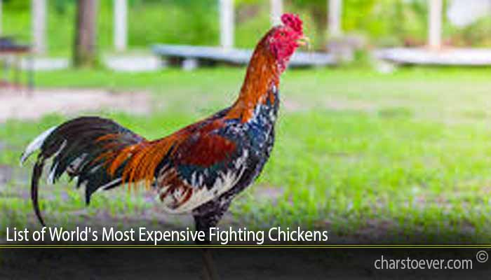 List of World's Most Expensive Fighting Chickens